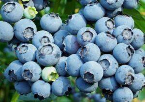 Голубику украинцам советуют выращивать в Африке